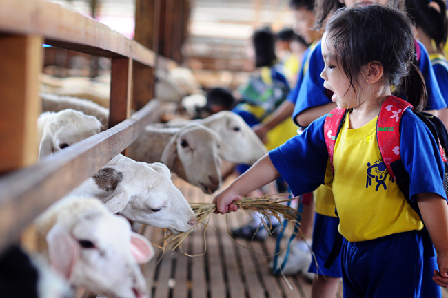 memberi kambing makan di uk farm resort johor